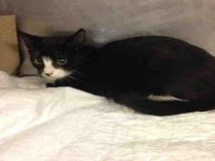 AGGI - A1053506 - - Manhattan  *** TO BE DESTROYED 10/08/15 *** AGGI HAS CERTAINLY SEEN A ROUGH TIME IN HER SIXTEEN WEEKS….AGGI may have been hit by a car and has some lameness and uti issues that she's experiencing now…Though she is rated experience, she could use a FOSTER and a NEW HOPE rescue to help her get on the road to healing!! PLEASE CONTACT A NEW HOPE RESCUE TONIGHT AND HELP AGGI!! The rescue will help with the vet bills and you will help this cu
