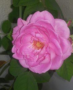 Uma rosa do meu jardm