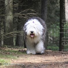 I just discovered that Old English Sheepdogs were bred specifically to kill wolves! They apparently have the stongest jaws of any domestic dog and were effectively designed by farmers to be camouflaged amongst their herds of sheep and act as body guards! pretty fascinating stuff!