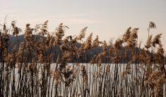 Reed at the Lake Woerthersee, Carinthia, Austria Free Photos, My Photos, Stock Photos, Carinthia, Bay Lake, Nature Plants, Landscape, Austria, Water