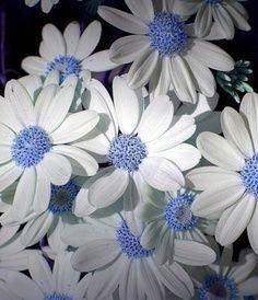100 pcs/bag African chrysanthemum African rare Blue Eyed Daisy Seeds bonsai or pot flower seeds for home garden plant Flowers Nature, My Flower, Flower Pots, Beautiful Flowers, Gerber Daisies, Home Garden Plants, Flower Seeds, Planting Flowers, Blue Daisy