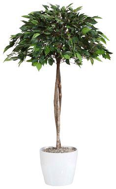 Artikeldetails:  Naturgetreuer Ficus, Mit Naturstamm, Mit ca. 754 Blättern, Höhe: 90 cm,  Material/Qualität:  Kunststoff, Topf aus Keramik,  ...