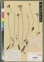 Cynorkis ericophila