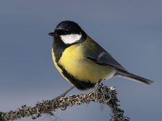 One of Sweden's birds for inspo Small Birds, Pet Birds, Parus Major, Cool Photos, Beautiful Pictures, Common Birds, Great Tit, Closer To Nature, Beautiful Birds