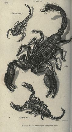 Scorpions by BioDivLibrary, via Flickr