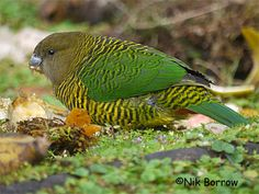 Brehm's Tiger Parrot, Psittacella brehmii, is aka Brehm's Ground Parrot. It is a small mainly green parrot found in the highlands of NG,
