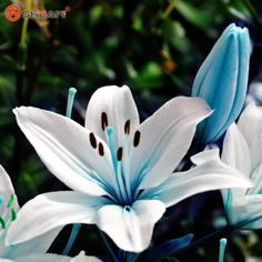 Blue-heart-Lily-Seeds-potted-plants-Seeds-Lily-flower-for-home-garden-50-PCs
