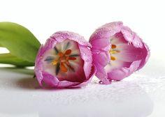 https://www.flickr.com/photos/karennfld/14095989589/in/pool-tulips