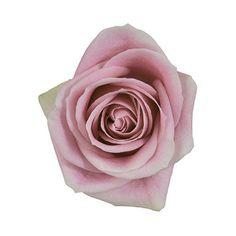 Rosita Vandela Pink Roses Wholesale Wedding Flowers