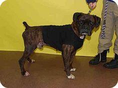 Louisville, KY - Boxer. Meet A554645, a dog for adoption. http://www.adoptapet.com/pet/12582954-louisville-kentucky-boxer