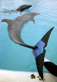 """A keeper holds an artificial tail fluke attached to female bottlenose dolphin """"Fuji"""", estimated to be 37-years-old, at Okinawa Churaumi Aquarium in Motobu town on the southern Japanese island of Okinawa February 14, 2007. Fuji lost 75 percent of her tail fluke due to an unknown disease in 2002. The dolphin can swim and jump using the artificial tail fluke, which is believed to be the world's first artificial fin for a dolphin, and was developed by veterinarians and Japan's largest tire maker…"""
