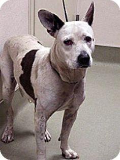 Wildomar, CA - Pit Bull Terrier/Australian Cattle Dog Mix. Meet Annie, a dog for adoption. http://www.adoptapet.com/pet/13175234-wildomar-california-pit-bull-terrier-mix