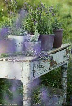 ღ❤༺ Lovely Pots of Lavender on weathered table ♡