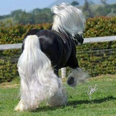 Gypsy Vanner  Poetry in motion! Heartbreakingly beautiful!!!!!!