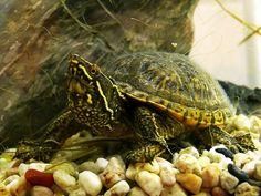 Sternotherus odoratus - Gewöhnliche Moschusschildkröte - Common musk turtle   Flickr - Photo Sharing!