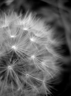 Dandelion Black And White Photography Home Decor 10x8 Print. $25,00, via Etsy.