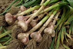 When to harvest garlic (and garlic scapes! Оne vegetable I have nоt had tо purchase in several years is garlic.