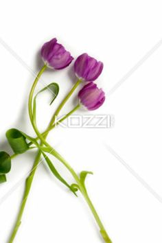 violet tulips - Image of violet tulips on white background