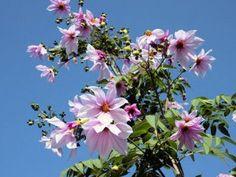 Unusual. Tree Dahlia and Tree Morning Glories #centerofthewebb