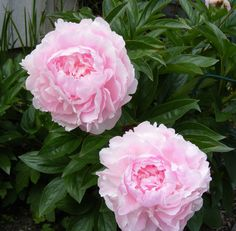"""Double Chinese """"Bomb"""" Peony 'Lady Orchid' (Paeonia lactiflora)"""