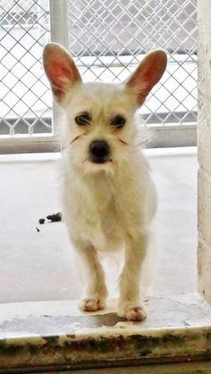 He is a tiny 3 year old angel with adorable bunny ears and he is scared and overwhelmed and needs some help. Please SHARE, a FOSTER would save his life. Thanks!  #A4802632 I'm an approximately 9 month old male terrier. I am not yet neutered. https://www.facebook.com/171850219654287/photos/pb.171850219654287.-2207520000.1424778161./374842779355029/?type=3&theater