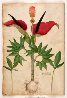 Georg Oellinger, Magnarum Medicinae partium herbariae et zoographiae imaginesm 1553. Nuremberg
