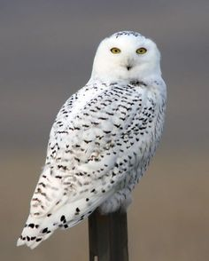 This breathtakingly beautiful Snowy Owl was photographed in Northeast Montana. Photo by Ramona Doebler.
