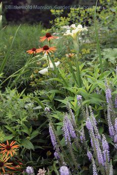 Echinacea 'Evan Saul' Big Sky Sundown, and Veronica 'Royal Candles'(? Plants, North Garden, Veronica, Borders, Garden, Echinacea