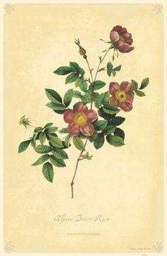 Alpine Brier Rose... love antique floral prints, tons!