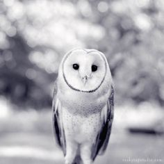 Black and White Barn Owl Photography Print