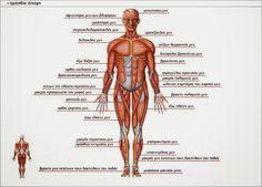 Μύες ανθρωπίνου σώματος/Πρόσθια όψη