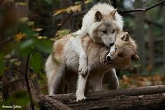 ♡-Ohhh!! I'm not feeling like it can you get off me! Your a horny wolf!