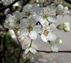 Poppular Photography: Flowers of Bradford Pear