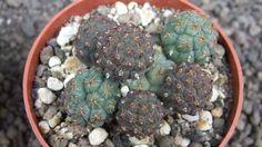 cacti 7J4 Puna bonniae, size pot is 6,5 cm 仙人掌 サボテン 선인장 | eBay