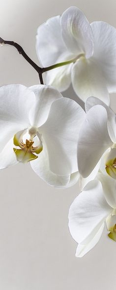 White orchids #lovehappens http://bykoket.com/ http://www.bykoket.com/inspirations/category/fauna-and-flor