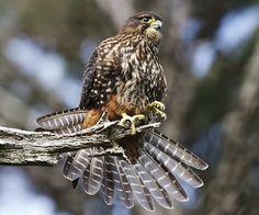 Las aves rapaces: Las aves rapaces de Nueva Zelanda.Halcón maorí.