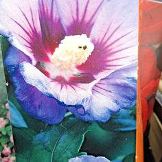 Hibiscus Syriacus from Hibiscus, Seeds, Bulb, Garden, Plants, Painting, Art, Art Background, Garten