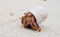 Un cangrejo hermitaño usando un recipiente de helado como habitáculo (H.Smidt, 2015)