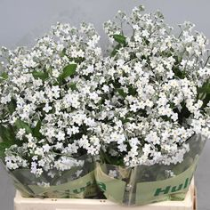 <p> 	MYOSOTIS WHITE (FORGET ME NOTS) 35cm is a beautiful White seasonal cut flower - wholesaled in Batches of 40 stems.</p>