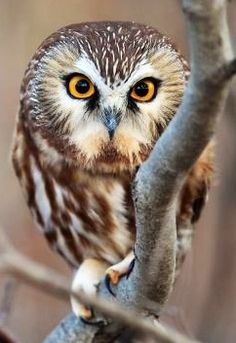 }{ Wild Northern Saw-Whet Owl Owl Bird, Pet Birds, Owl Facts, Saw Whet Owl, Funny Owls, Wood Owls, Owl Photos, Owl Always Love You, Wise Owl