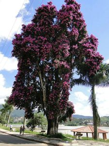 Maior Bougainville do mundo - Lambari, MG.