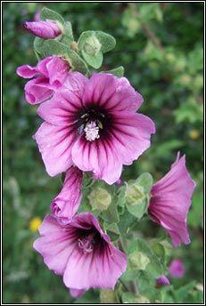 tree-mallow (hocas ard) Irish June wildflowers