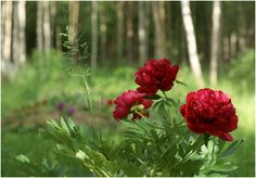 Peony of the forest
