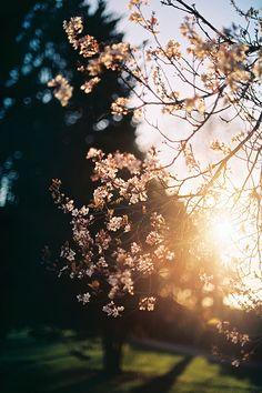 Golden hour blossom (Canon AE-1 Program, Kodak... - Cinnamon Thursdays