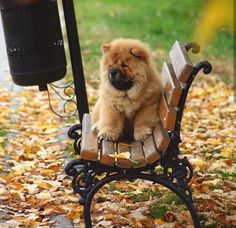 Chow Puppies For Sale, Cute Puppies, Chow Chow Dogs, Siblings, Squirrel, Shelter, Cow, Creatures, Friends
