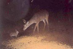 trail cam deer - Google Search