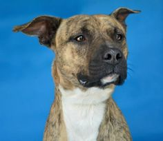 Meet Odie, a Petfinder adoptable Pit Bull Terrier Dog | Pikeville, KY | Thank you for taking the time to view a pet from the Pike County Animal Shelter!  If you are...