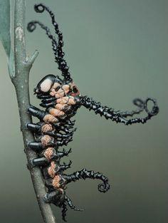 This extraordinary caterpillar of the Sino-Korean owl moth. This extraordinary caterpillar of the Sino-Korean owl moth. Cool Insects, Bugs And Insects, Weird Insects, Macro Pictures, Cool Pictures, Beautiful Creatures, Animals Beautiful, Cool Bugs, Scary Bugs