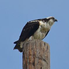 Osprey by iphonetographer, via Flickr