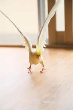 Lutino cockatiel portrait from オザ兵長 (@ozaokame)'s Twitter feed. Exercising his wings.